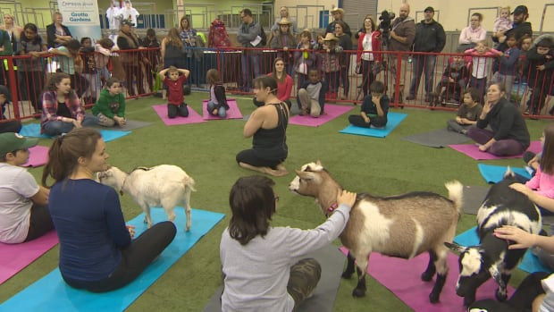 Goat yoga sessions are scheduled to run both Monday and Tuesday at Agribition.