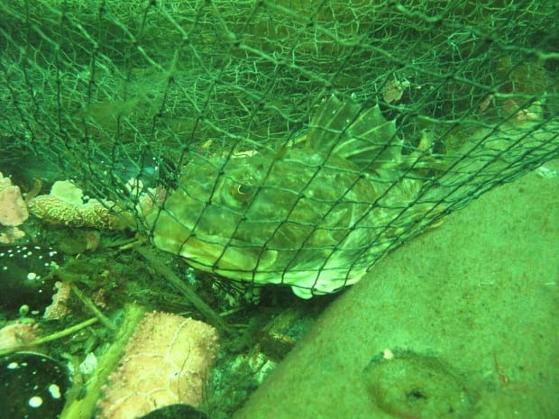 sculpin trapped in fishing gear