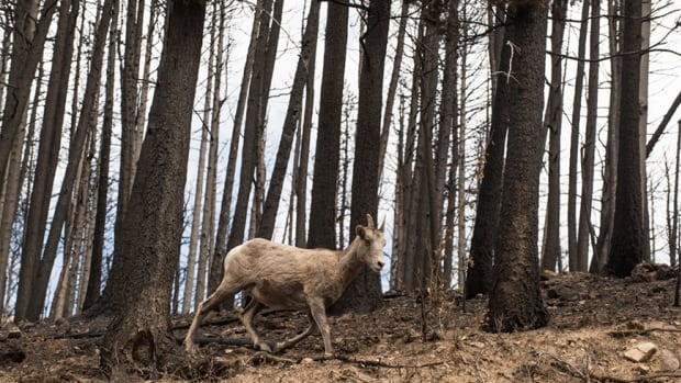 This big horn sheep, photographed near the Akamina Parkway in Waterton Lakes National Park, must find unburned habitat to survive the winter.