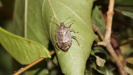 More than 1,000 invasive stink bugs found in B.C.'s Okanagan Valley