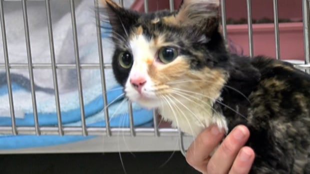 A stranger returned Gigi to her family after finding her on the street. The one-year-old cat had allegedly been tormented, shaved, tattooed and force-fed drugs.