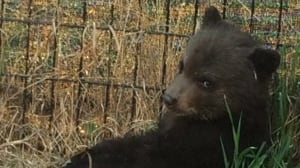 Wildlife group challenges B.C.'s interpretation of law on destroying bears