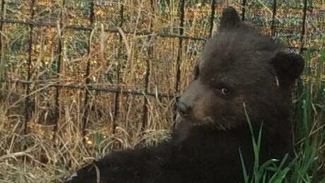 Bear Cub Killing 20171122