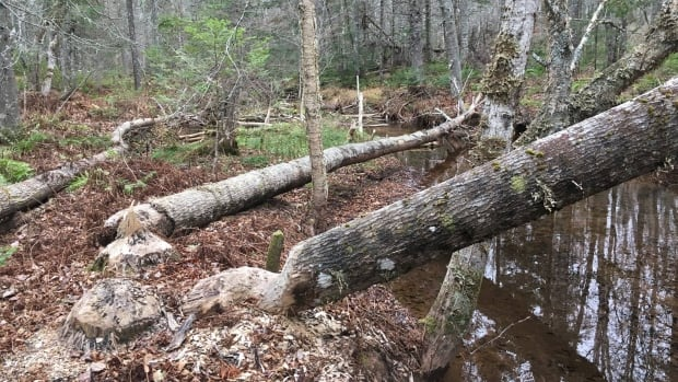 Watershed group says increased beaver activity in the Hunter River area is cause for concern.