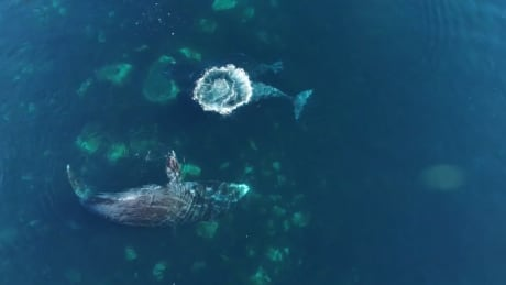cumberland sound a spa retreat for bowhead whales in need of deep exfoliation