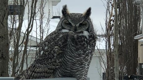Dog escapes hungry great horned owl in backyard attack