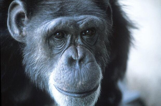 Obit Signing Chimpanzee Dies
