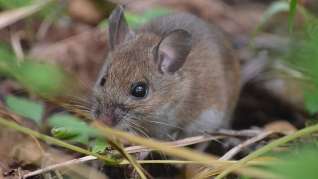 By comparing their own research to data collected as far back as the 1950s, Prof. Virginie Millien's team discovered that the skull shapes of both the white-footed mouse and deer mouse have changed over time.