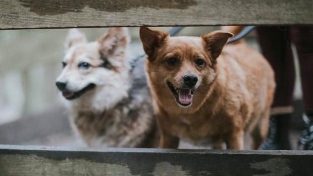 Bc Dog Rescue Adoptions