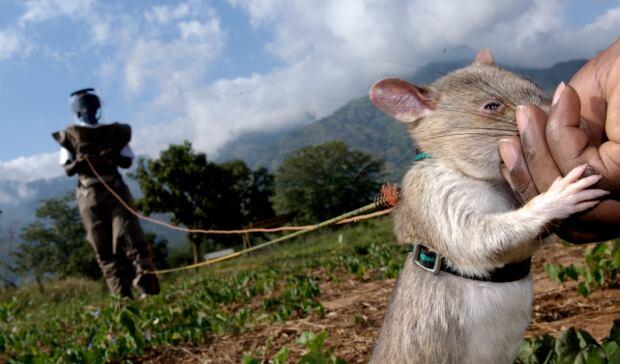 rat on leash
