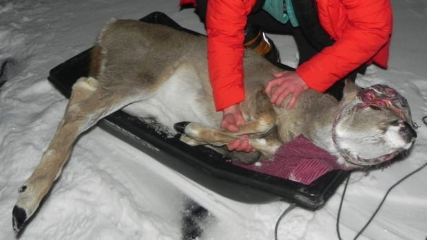 A deer had to pulled off a frozen lake in B.C.'s Interior by toboggan on Dec. 4.