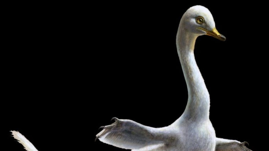 This is a reconstruction of Halszkaraptor escuilliei. The small dinosaur was a close relative of Velociraptor, but in both body shape and inferred lifestyle it much closely recalls some water birds like modern swans.