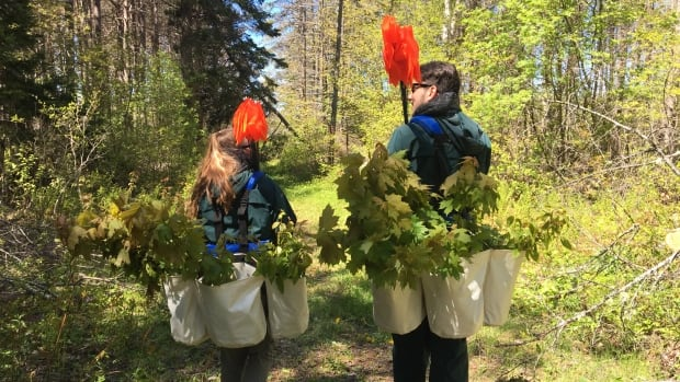 Parks Canada plants 39,000 trees to rehabilitate its ...