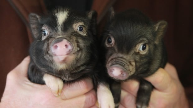 Picksie and Kelowna, born on Halloween, will fly for free on an Air Canada flight from Kelowna, B.C., to their new home in Ottawa later this month.