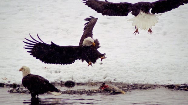 The state created the Alaska Chilkat Bald Eagle Preserve to protect salmon and the world's largest concentration of bald eagles. The preserve is downstream from a copper, zinc, gold and silver prospect that could some day be developed into a hard rock mine.