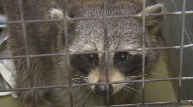 Toronto animal services captures raccoon after man chased and bitten