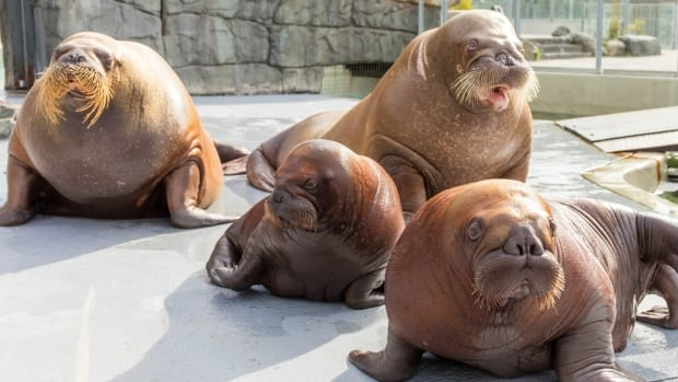 A Vancouver-based group called the Lifeforce Foundation says the proposed move is 'insensitive to the psychological and physical needs' of the baby walruses and their mothers, but the aquariums say the calves are ready to go.
