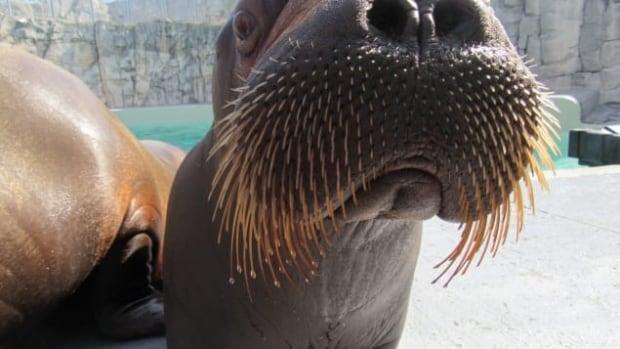 Lakina baby walrus