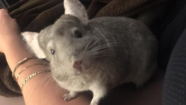 Jeffrey Oberman of Vancouver is upset that Mandzy, his pet chinchilla, won't be allowed to fly in the cabin of an Air Canada plane.