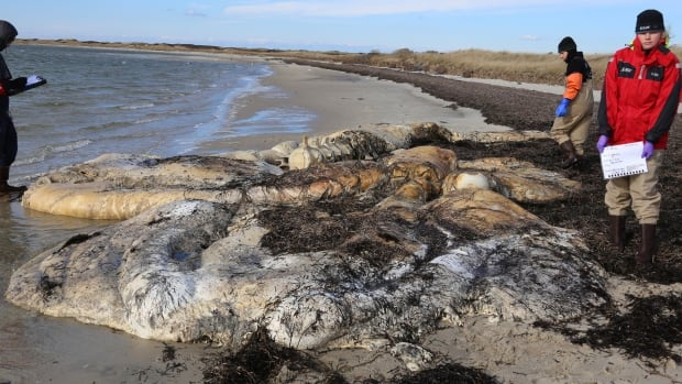 The severely decomposed body of a North Atlantic right whale found on Nov. 27 is being classified as a new death by scientists at the Anderson Cabot Center for Ocean Life at the New England Aquarium.