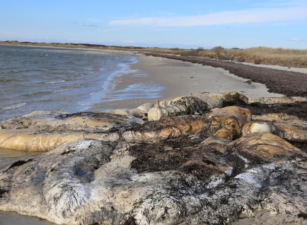 Nantucket whale carcass