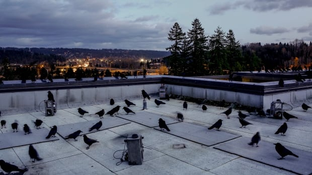Researchers placed audio recorders on four corners of the roof of UW Bothell's science building. The birds get used to the equipment and then can be observed when they gather as usual at dusk.