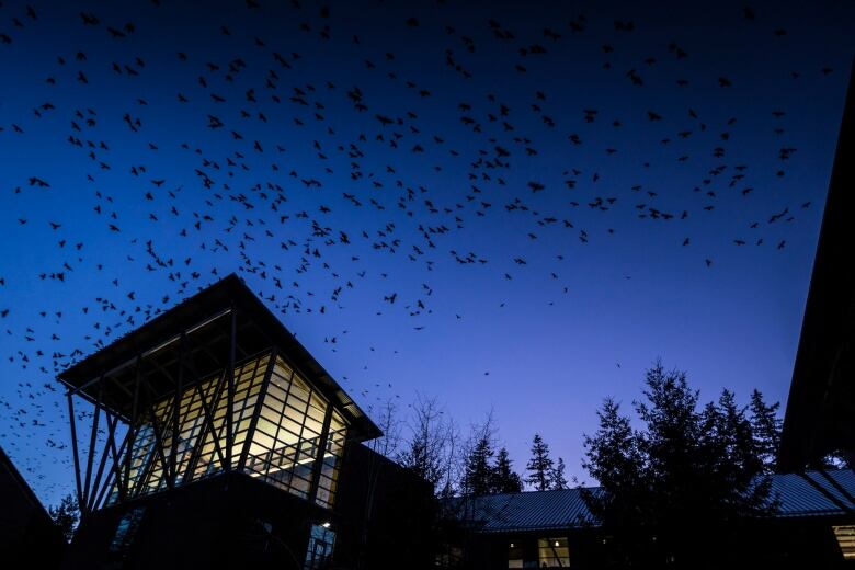 Deciphering the 'caw-caw-caw' of crows: biologists study