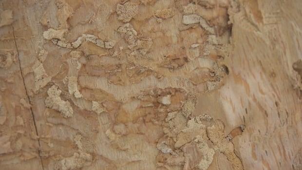 ash tree tracks