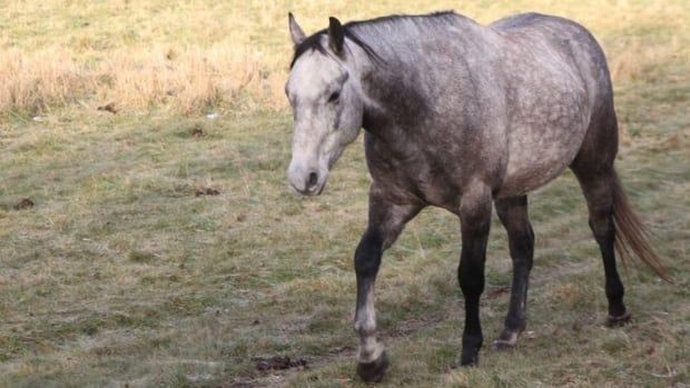Horses stolen from a ranch southwest of Edmonton were found, unharmed Tuesday night.