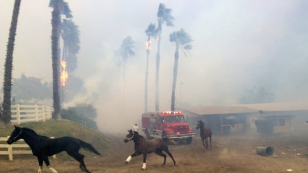 Terrified horses gallop from San Luis Rey Training Center as the Lilac Fire sweeps through the horse-training facility on Thursday, north of San Diego.