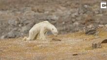 Emaciated Polar Bear SeaLegacy