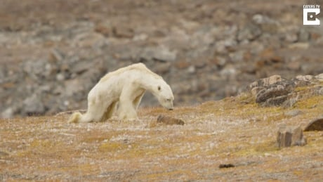 National Geographic says it 'went too far' with emaciated polar bear video | CBC