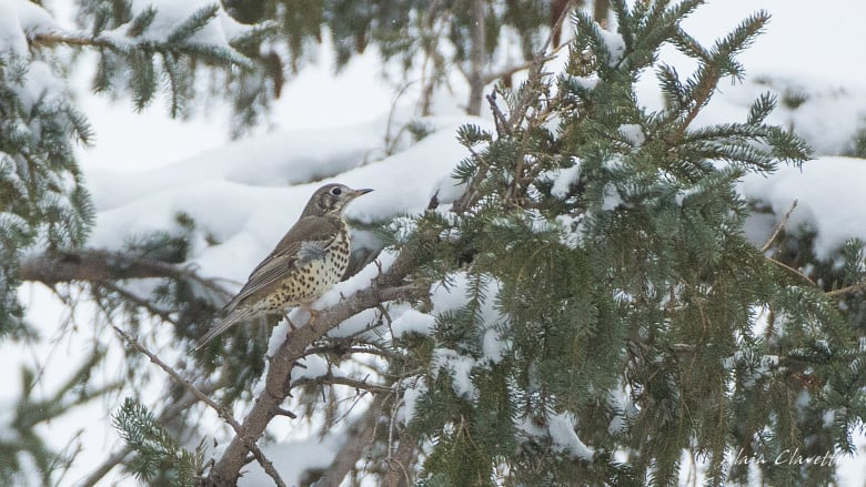 'It doesn't get any rarer than this': Mistle thrush could be continent's first