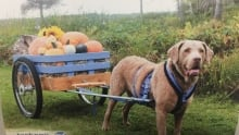 Jackson the Chesapeake Bay retriever shot of 2018 Bark for Life calendar
