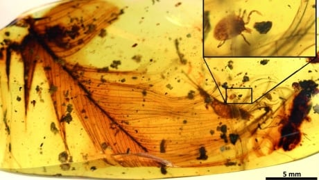 Researchers discover 'Dracula's terrible tick' trapped in amber with dinosaur feather thumbnail