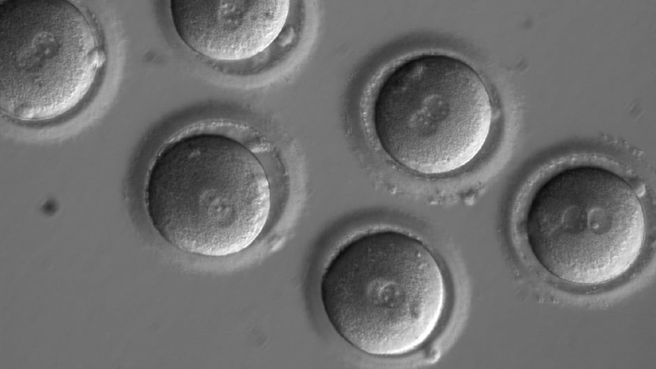 The first sign of successful in vitro fertilization, after co-injection of a gene-correcting enzyme and sperm from a donor with a genetic mutation known to cause hypertrophic cardiomyopathy.