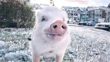 Christopher the Pig