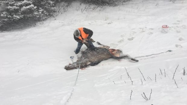 Hunter John Butt cleans a moose that he found earlier this week on the Northern Peninsula. Butt says there are far fewer moose in the area than there used to be, and there are reports that many of those that are left — like this one — are sick with parasites.