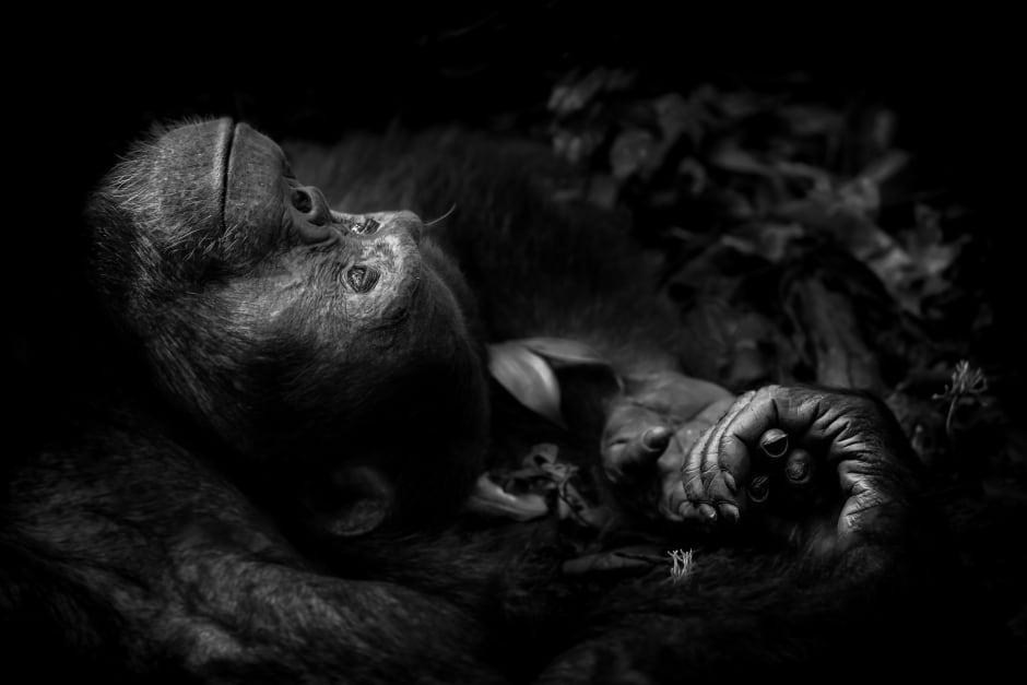Chimpanzee Dreaming