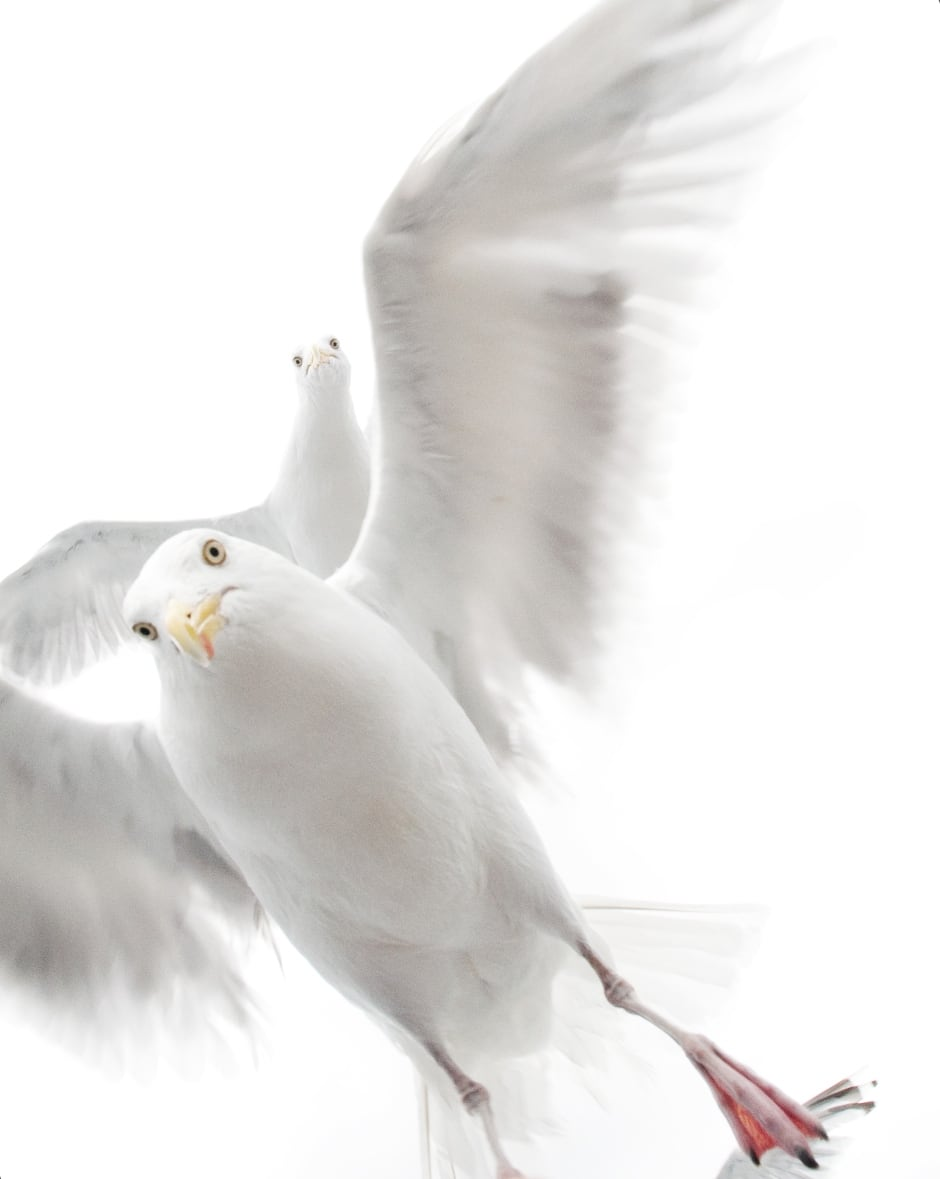 In the grip of the gulls © Ekaterina Bee - Wildlife Photographer of the Year.jpg