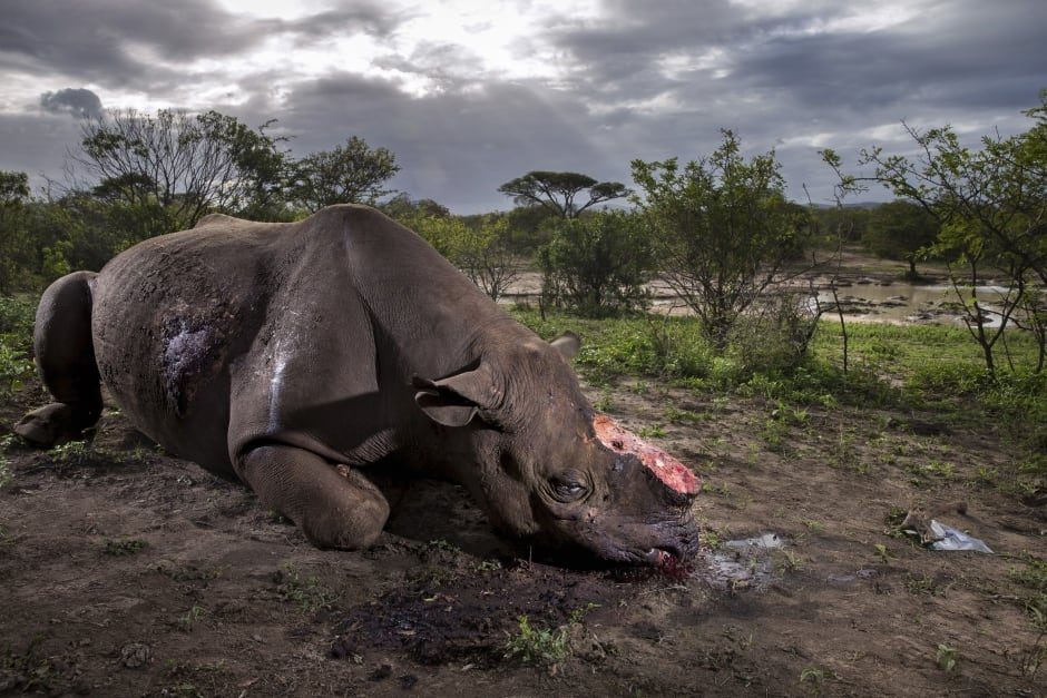 Memorial to a species © Brent Stirton - Wildlife Photographer of the Year
