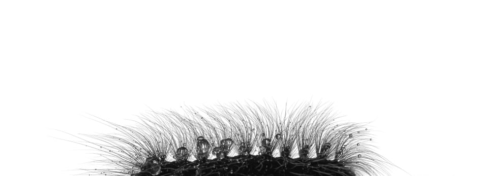 The hairy raincoat © Josiah Launstein - Wildlife Photogrpaher of the Year