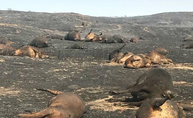 Burned cows near Bindloss, Alberta