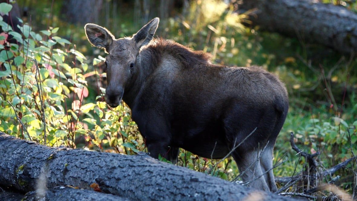 Moose calves rescued in northern B.C. are 'golden nuggets' to species survival, says researcher