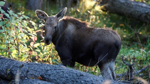One of two orphaned moose calves that were rescued from near Prince George, B.C., in May and have been rehabilitated at the Northern Lights Wildlife Society in Smithers, B.C. is shown in a handout photo.