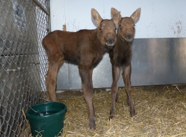 baby moose