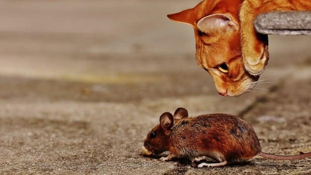 Toxoplasma gondii parasite makes mice fearless
