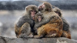 Monkeys hug amid snow at Huaguo mountain CHINA