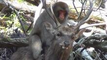 Deer Monkey