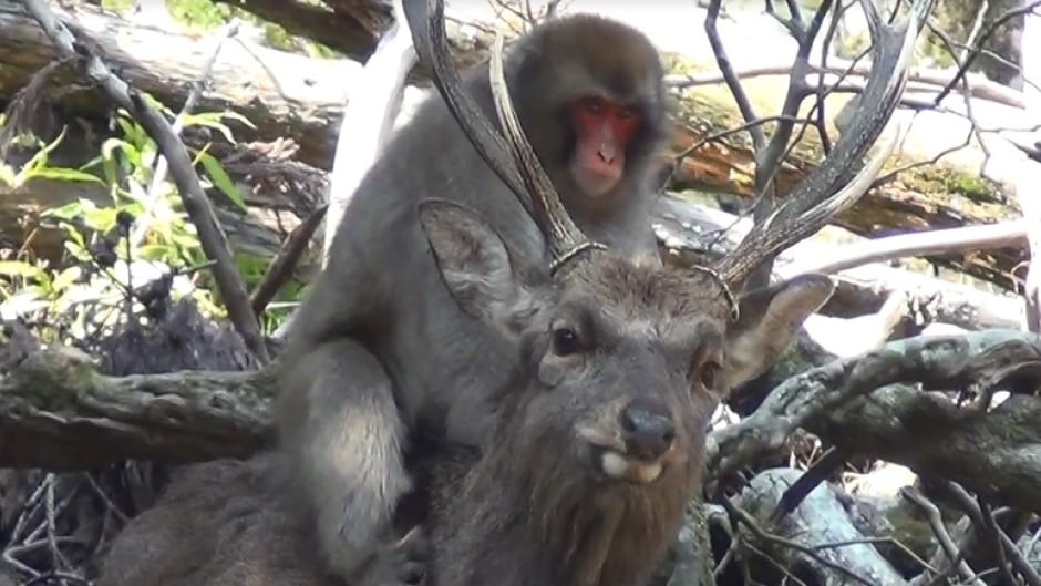 Study Says Japanese Wild Monkeys Are Having Sexual Contact With Deer